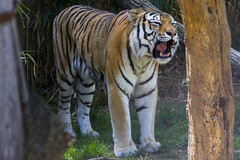 National Zoo 3 May 2018  (584) Tiger (smata2) Tags: tiger tigre flickrbigcats bigcats smithsoniannationalzoo zoo zoosofnorthamerica itsazoooutthere animals zoocritters