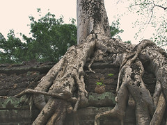 Roots of Ta Prohm (hasor) Tags: siem reap cambodia southeastasia taprohm roots tree temple angkor