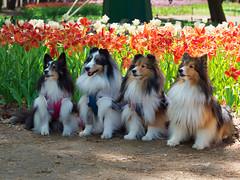 Kawaii (elenaleong) Tags: lassiedogs kawaii hitachiseasidepark garden cutedogs elenaleong ibaraki japan flowers tulips