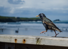 Starling By The Beach (JakeChad Publishing) Tags: landscape bird colour light blue ocean nature green oiseau sky nikon seaside sea starling colourful coth5 sunny shore