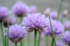 Chive flowers (jbourne5) Tags: photography garden depthoffield green lilac macro flowers chives