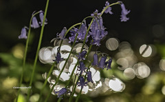 The best of Spring 2 (stevenbailey7) Tags: bluebells bokeh insects nature flowers new light countryside nikon tamron