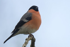 Bullfinch (MikeHawkwind) Tags: animals birds bullfinch falkirk finches maddiston places pyrrhulapyrrhula scotland uk