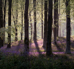 Enchantment (Sarah_Brooks) Tags: bluebells myspring signsofspring landscape treescape woodland dorset bluebellwood trees trunks light shade