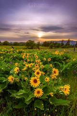 Afternoon Calm (Konejita) Tags: mosier oregon pacificnorthwest columbiarivergorge balsamroot wildfowers sunset nikon d600 christinaangquico rowenacrest