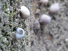 Snails on a wall of barnacles (LouisaHocking) Tags: snails shells caswell bay barnacles coast beach rockpools rock nature wild wildlife brisith