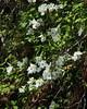 Dogwood Blossums along Buffalo River Bluff - Steel Creek Csmpground, Northwest Arkansas (danjdavis) Tags: dogwood dogwoodblossums flower whiteflower floweringtree arkansas