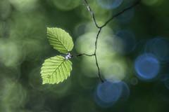 new life (SonjaS.) Tags: bokeh trioplan blätter leave grün wald hintergrund frühling spring sonjasayer canon6d meyergörlitz mohnbachtal schwarzwald