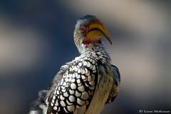 The Boss (leendert3) Tags: leonmolenaar southafrica krugernationalpark wildlife nature birds yellowbilledhornbill ngc npc