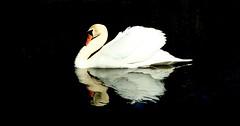 The Swan - 5157 (YᗩSᗰIᘉᗴ HᗴᘉS +15 000 000 thx) Tags: swan bird fauna nature cygne hensyasmine namur belgium europa aaa namuroise look photo friends be wow yasminehens interest intersting eu fr greatphotographers lanamuroise tellmeastory flickering
