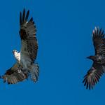 Crow harassing Osprey thumbnail