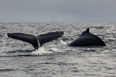 Humpback Whales feeding of the South Coast of Ireland (Pastel Frames Photography) Tags: whale whales humpback naturephotography photography canon100400mmii canon5dmark3 mammals mammal ireland westcork boattrip whalewatching