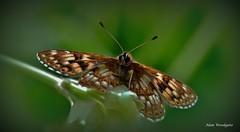 Duke of Burgundy - Bedfordshire (Alan Woodgate) Tags: duke butterfly