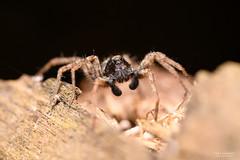 DSC_7833-Edit (TDG-77) Tags: nikon d850 sigma 105mm f28 macro os hsm garden spider