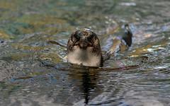 Little Penguin in the water (Merrillie) Tags: australianlittlepenguin eudyptulaminor wildlife nature penguins swimming water birds australia animals fauna bird penguin littlepenguin