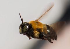 Eastern Carpenter Bee (arlene sopranzetti) Tags: macro eastern carpenter bee sandy hook nj insect flying dogwood2018