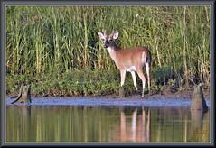 Approach with caution. (WanaM3) Tags: wanam3 nikon d7100 nikond7100 texas pasadena clearlakecity bayareapark park armandbayou bayou outdoors nature wildlife canoeing paddling deer buck whitetaileddeer