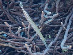 Bonaire diving 2018 (Valerie Hukalo) Tags: bonaire antilles caraïbes island île paysbas hukalo buddydiveresort diving plongée plongéesousmarine underwaterphotographe photographiesousmarine patrickhukalo trumpetfish