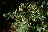 Chilean myrtle  (Luma apiculata) (Tatters ✾) Tags: newzealand flowers myrtaceae luma 18135mm lumaapiculata