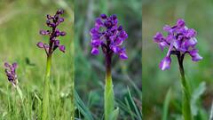 """Anacamptis morio (dnieper) Tags: flores silvestres orquídeas """"anacamptis morio"""""""