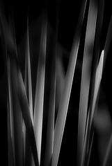 nightshades (courtney065) Tags: nikond200 nature landscapes pondscapes wetland marshland pondgrasses sawgrass shadows textures soft softlight artistic abstract flora foliage blackandwhite monochrome bw sedge lines