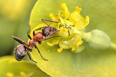Ameise auf Euphorbie (jörgpreusser) Tags: blume blumen blüte blüten insekt insekten makro macro