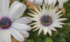 Beautiful flower (My Photolifestyle) Tags: fotosondag fs180513 symmetri