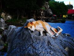 ,, Pumpkin The Rascal ,, (Jon in Thailand) Tags: dog k9 pumkin pumpkintherascal jungle buddha red yellow green orange boulder shydog sillydog dogtail dogears dognose funnydog themonkeytemple nikon d300 nikkor 175528 dogexpression littledoglaughedstories