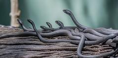 DSC_2689_pe (AZDenney) Tags: snakes reptiles