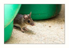 little visitor (rscholle) Tags: mouse
