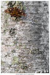 Amazing, isn't it? (Stefan Gerrits aka vanbikkel) Tags: finland espoo canon5dmarkiii canonef100mmf28lmacroisusm nature wildlife vanbikkel vlinder butterfly perhonen mot moth yöperhonen nachtvlinder emperor saturniapavonia smallemperormoth nachtpauwoog riikinkukkokehrääjä birch