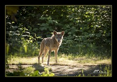 awake and watching (the_coprolite) Tags: coyote canislatrans coquitlam bc britishcolumbia hoycreek lafargelake canada nikon d750 sigma 150600mm