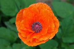 Full Glory in Orange (Jan Nagalski) Tags: flower orange orangeflower poppy green bud macro closeup groundcover garden nature denver colorado spring jannagalski jannagal