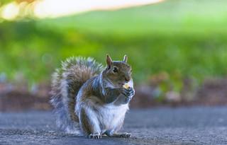 Norfolk Squirrel