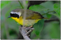 Common yellowthroat (view large) (RKop) Tags: d500 withrow park cincinnati ohio raphaelkopanphotography nikkor600f4evr 14xtciii nikon warblers warbler wildlife