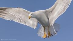 Seagull flying (nikhrist) Tags: seagull gull flying bird sky blue