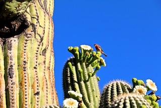 Busy Bird On Saguaro Cactus <<>> IMG_6531 - Version 2