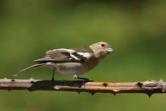 Hembra de Pinzón en Zarza (pacochapela) Tags: naturaleza aves pajaros cantores montes zarza mora