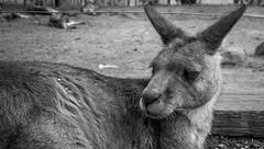Hobart - Bonorong Wildlife Sanctuary (Ryan W Payne) Tags: 2017 animal australia blackandwhite bonorong cruise hobart hollandamerica kangaroo portrait tasmania travel wildlifesanctuary sonyalphanex7 nex7