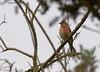Linotte mélodieuse-Linaria cannabina - Common Linnet 7961_DxO.jpg (Zoizeaux de Gabriel) Tags: 500mmf4 commonlinnet domainedesoiseaux linariacannabina linottemélodieuse mazères nikond5 occitanie oiseauxnet