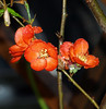 P5207952 (sneptun) Tags: tree quince blooming