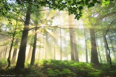 Lights of Spring (Hector Prada) Tags: forest spring light sunlight fog leaves sunbeams trees backlight magic dreamy mist mystic bosque primavera luz niebla bruma hojas árbol contraluz nature naturaleza paísvasco basquecountry