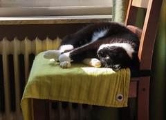Satisfied (Elisa1880) Tags: koschka cat kat relaxing satisfied tevreden relaxen thuis home den haag the hague zonlicht sunlight theedoek ochtend morning