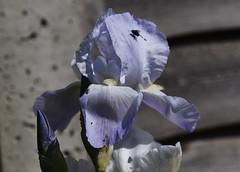 DSC_9943 Iris (PeaTJay) Tags: nikond750 sigma reading lowerearley berkshire macro micro closeups gardens indoors nature flora fauna plants flowers iris