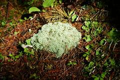 OpalHiills00016 (jahNorr) Tags: summertrip 2012 fungilichen canadaalbertajaspernationalparkopalhills