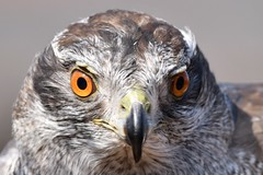 Close up at the International Centre for Birds of Prey (Newent, UK) (JerryGoulet) Tags: internationalcentreforbirdsofprey birds british beak birdsofprey colours conservationism contemporary conservancy conservation contrast closeup colors bird animals d500 depthoffield atmosphere animal england expression eyes eagles exposure excellence eye eagle feathers face portrait nikon nature newent