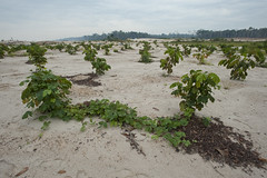 _7TP6576 (wcsperu) Tags: aider guacamayo guava interoceanichighway interoceanica km103 myrtaceae campaign goldmining pilotproject reforestation reforestationcampaign andrebaertschi