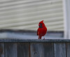 Cardinal on the fence (Hred pics) Tags: elements cardinal bird summer morning fence red