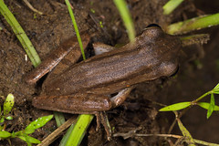 Polypedates leucomystax (NakaRB) Tags: malaysia borneo sarawak bakonationalpark 2017 amphibia anura rhacophoridae polypedatesleucomystax
