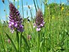 Orchid hybrids (ERIK THE CAT Struggling to keep up) Tags: dactylorizasps wildflowers mottymeadows staffordshire ngc dactylorhizaxgrandis doublefantasy npc